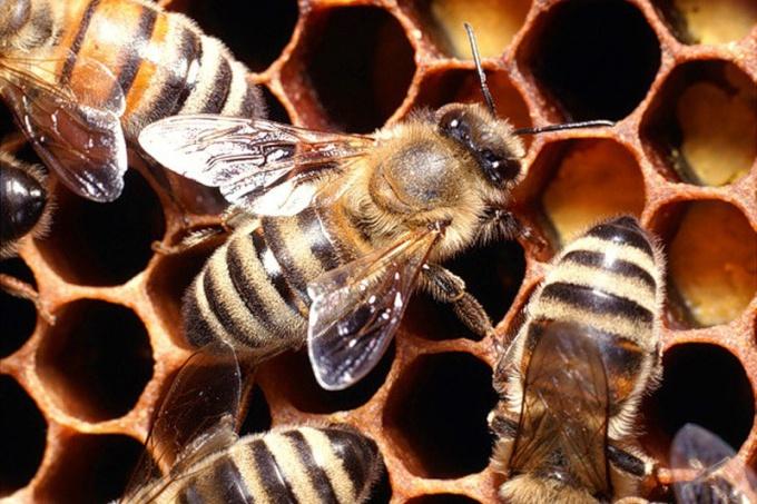 Дозировка пчелиной перги для детей