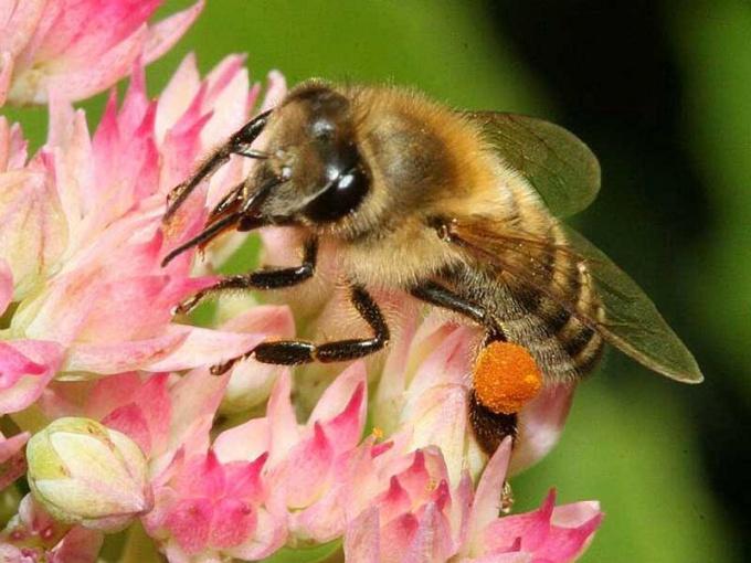Чем полезна и чем вредна пчелиная пыльца