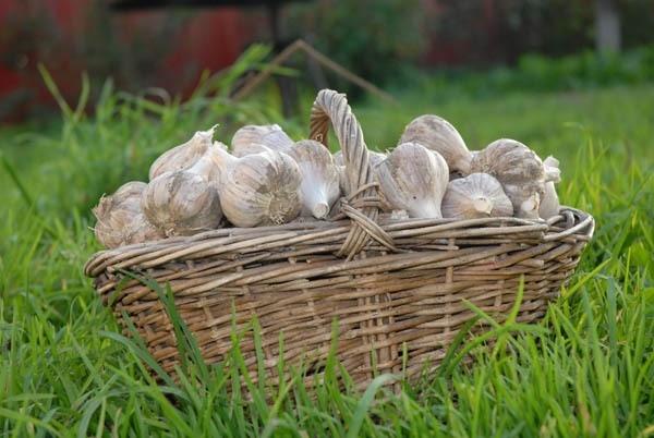 Dig garlic