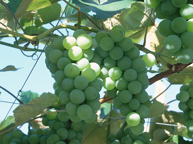 Как вырастить виноград из черенков