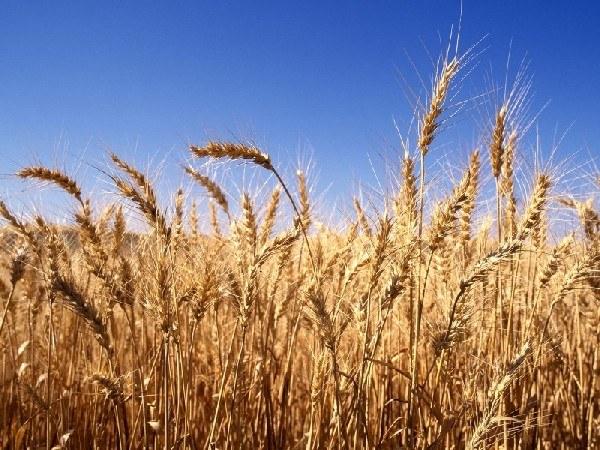 Раствор из ростков пшеницы