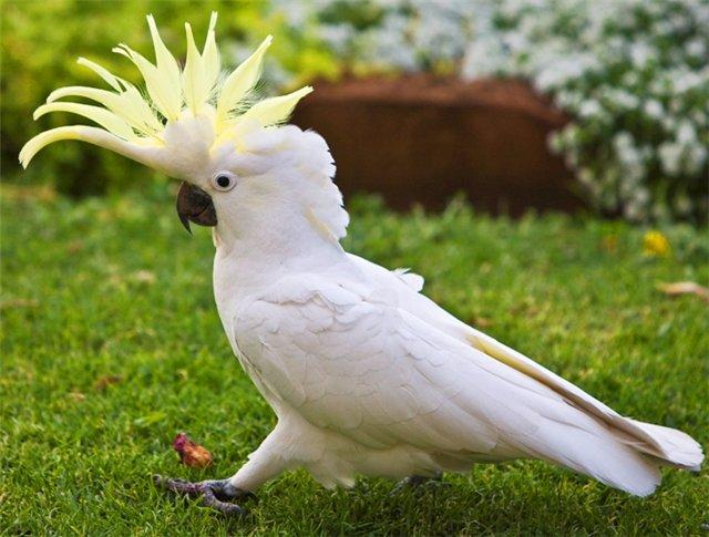 Как содержать попугая какаду