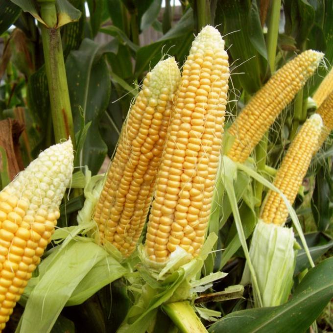 Как собрать и сохранить урожай кукурузы