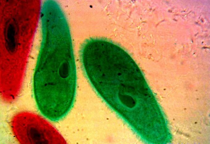 Инфузория-туфелька - самый высокоорганизованный простейший организм