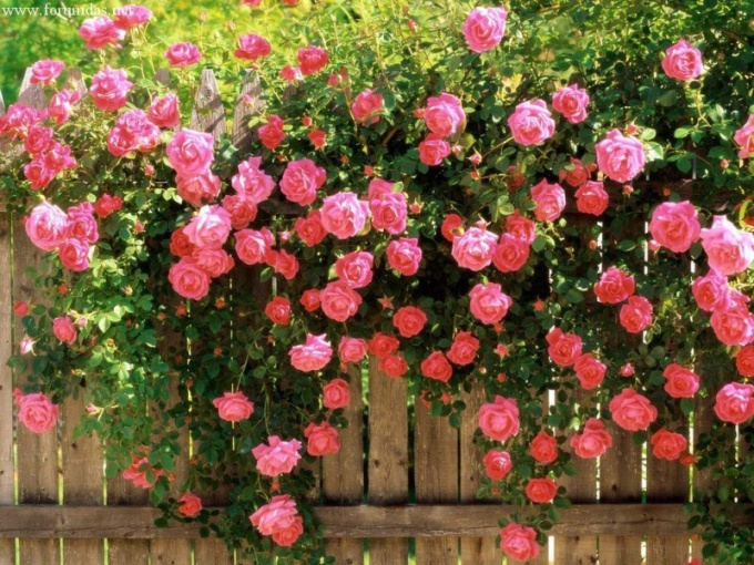 Twine the rose, where and how to plant
