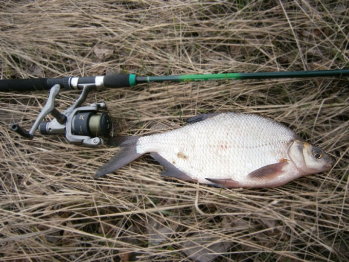 The bream fishing