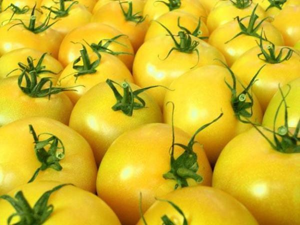 "Tomato ""Persimmon"" is a universal sort of Amateur breeding"