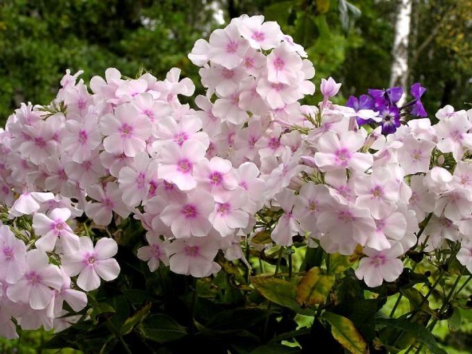 Советы садоводам: когда сажать флоксы