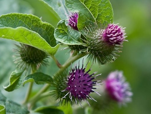 "The drug is ""milk Thistle"": the instruction on application and properties"
