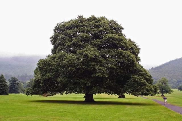 Сколько лет может расти дуб