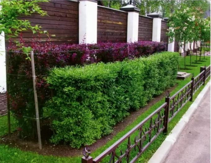 Какие растения можно использовать для живой изгороди в Сибири