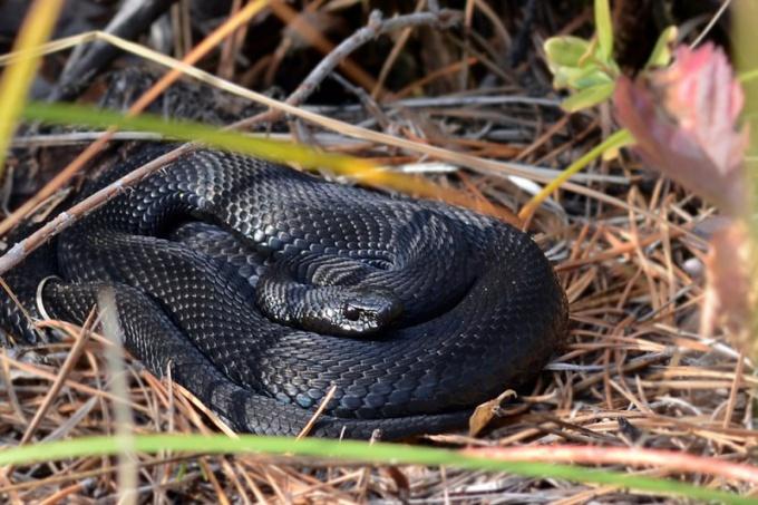 Черная гадюка: отличия, особенности и ареал обитания