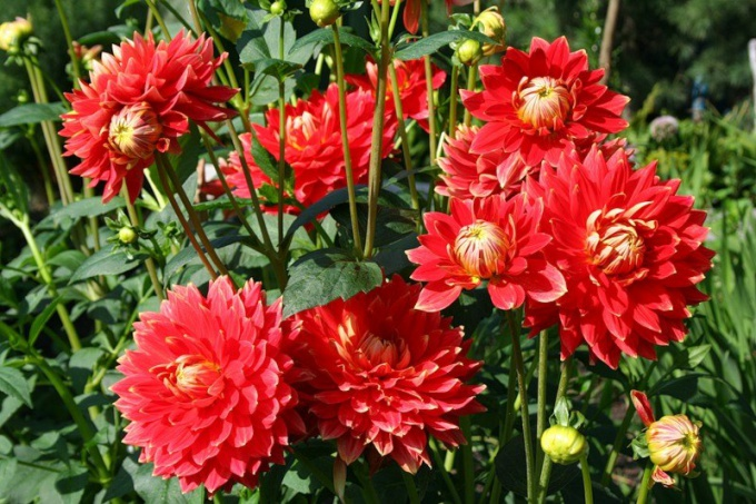 Is it necessary to dig up dahlias for the winter
