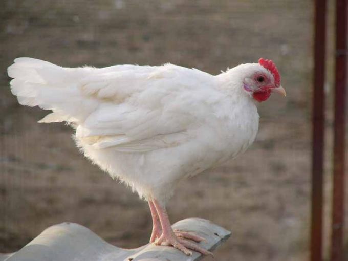 курица породы русская белая