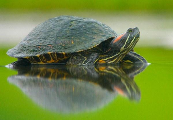 Впадают ли в спячку красноухие черепахи