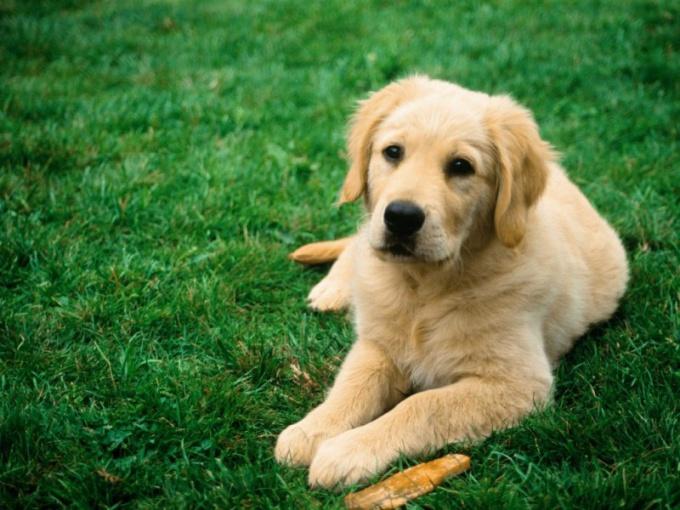 С самого первого дня появления собаки в доме нужно ее приучить ходить в туалет в лоток