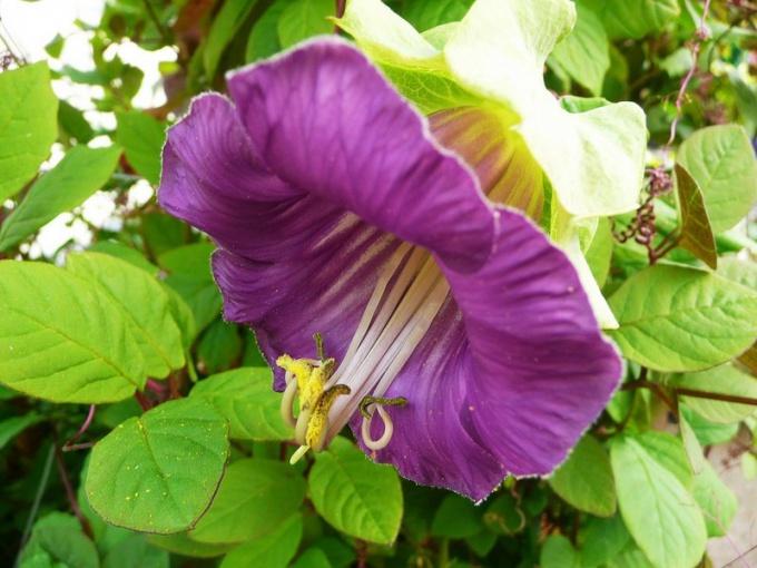 Лиана для сада - кобея: выращивание из семян