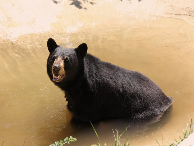 Какого окраса бывают медведи