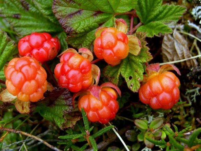 Морошка - ягода от многих заболеваний