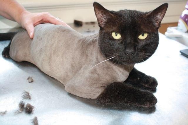 Можно ли подстригать кошек