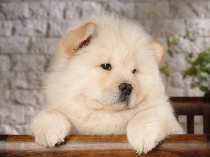 Собаки, похожие на медвежат: чау-чау и померанский шпиц