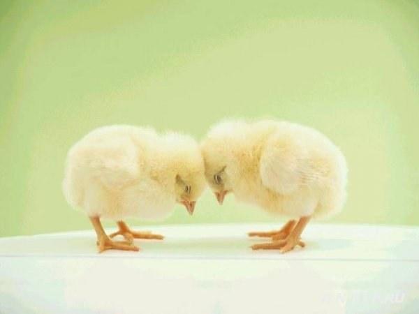 Чем кормить цыплят в первые дни жизни