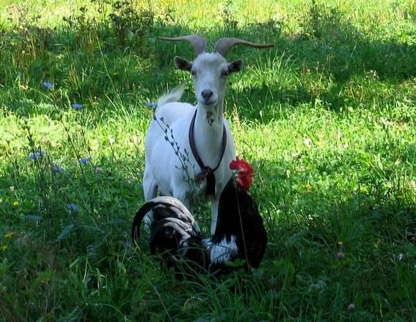 восточный гороскоп козы совместимость