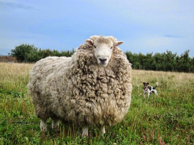 Sheep of the Merino breed.