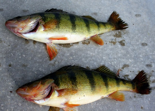 How to jerk river perch