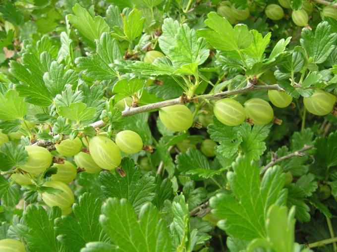 Крыжовник: сорта, выращивание и уход