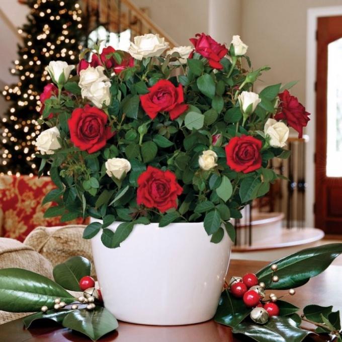 Какими бывают карликовые комнатные розы