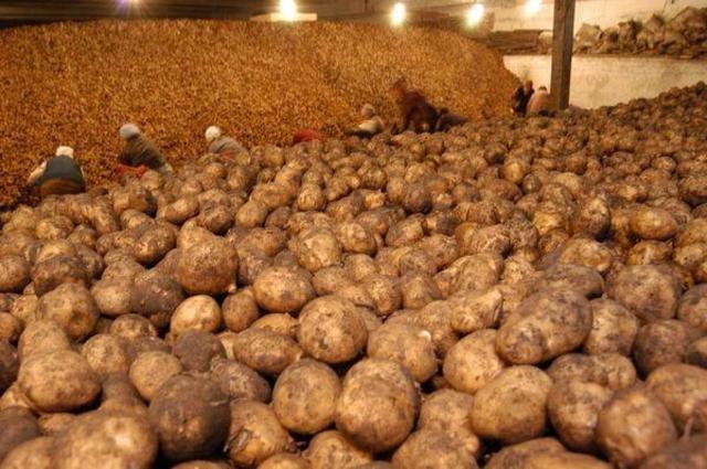 Какая  температура требуется для хранения картофеля