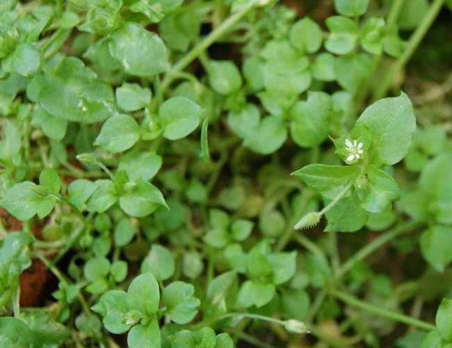 Как избавиться от травы мокрицы в огороде