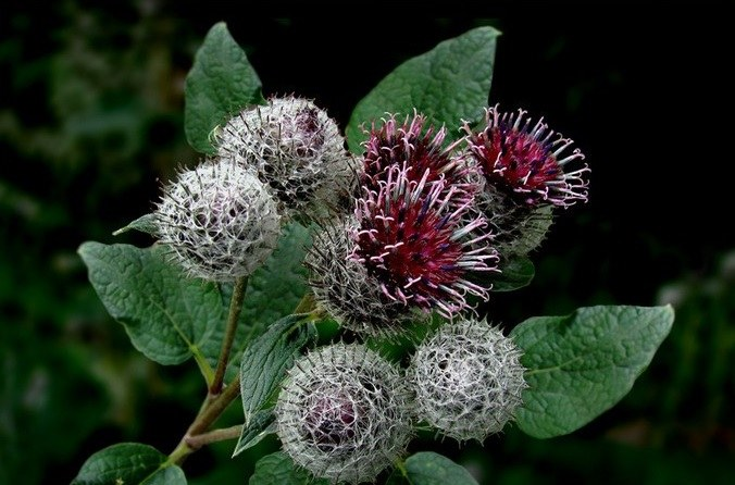 It helps if juice burdock for women's diseases