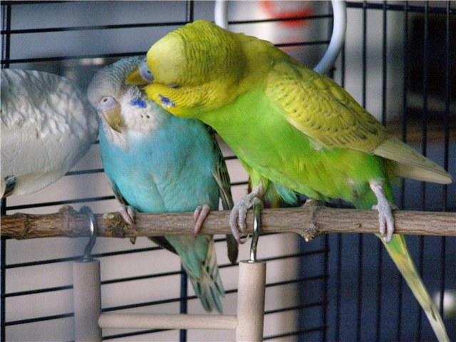 """Выпускать ли попугайчиков из клетки, чтобы они """"гуляли"""" по квартире"""