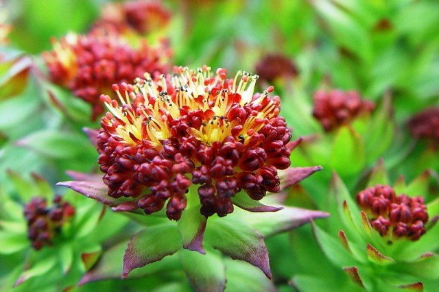 Tincture Rhodiola rosea is a remarkable therapeutic agent