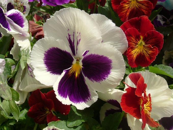 Анютины глазки: посадка и уход за весенним цветком