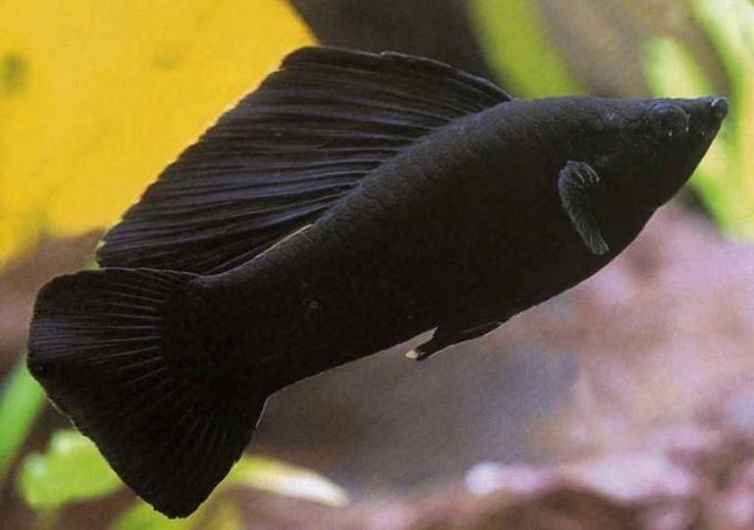 Как размножаются рыбки моллинезии