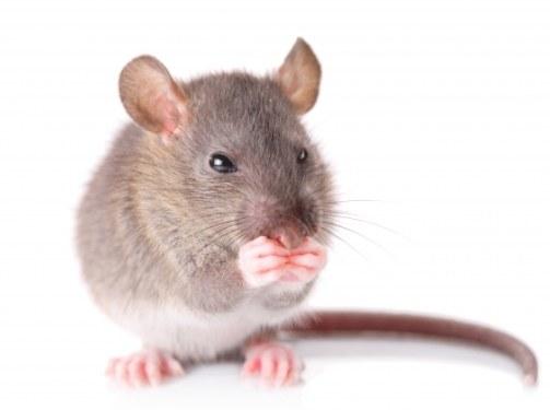 Чем питается мышь