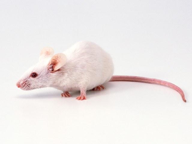 Крысе в 2015 году придется побороться с капризами Козы