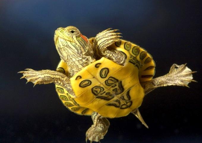 Красноухие черепахи: болезни и лечение