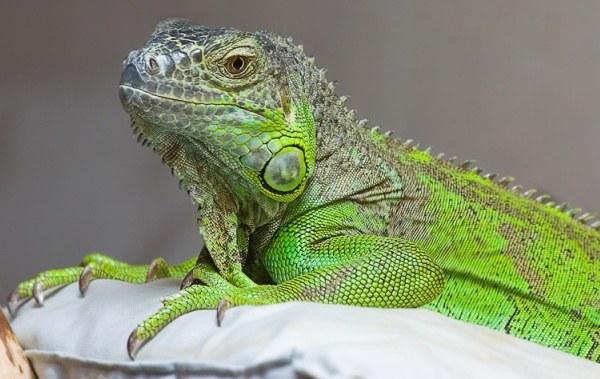 Игуана - настоящий ручной дракон в доме!