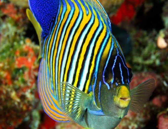 Рыба-ангел - уникальное создание тропических вод