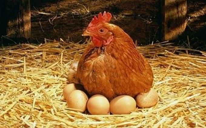 Как кормить куриц-несушек
