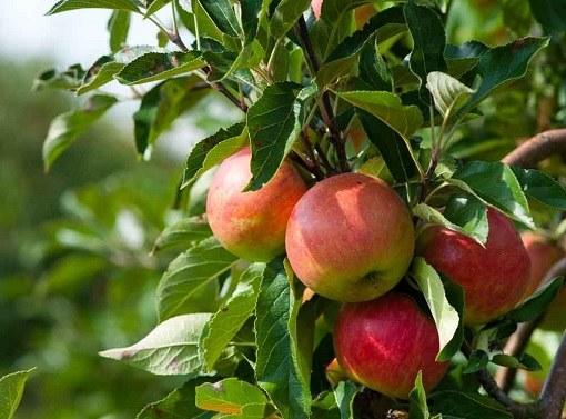 Какой способ прививки лучше для яблонь