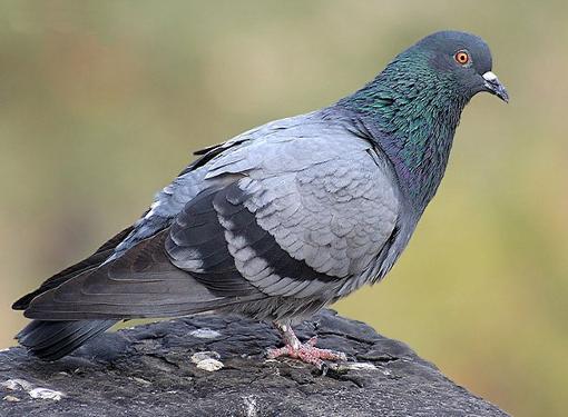 Как отучить голубей садится на подоконник