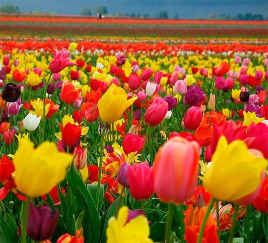 Тюльпаны просто покоряют своей непосредственностью и изобилием цвета