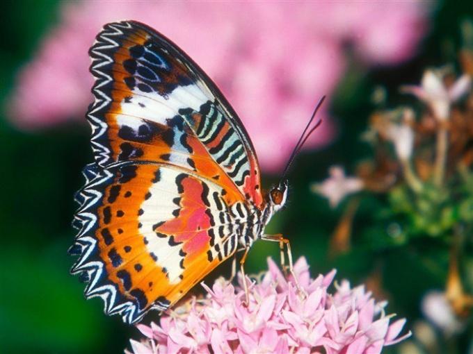 Бабочки поражают яркостью и красотой окраски