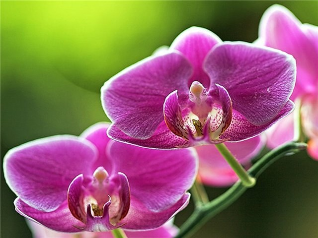 Orchid - watering, care, flowering