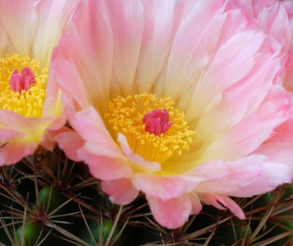Кактус с большими цветками